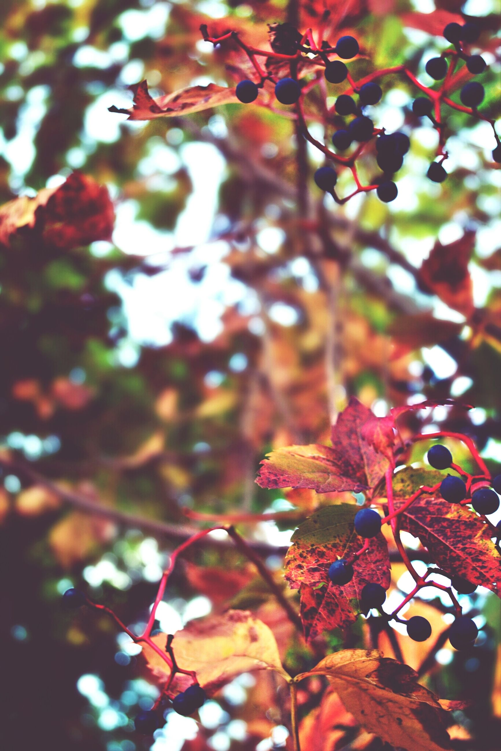 tree, leaf, branch, focus on foreground, growth, close-up, nature, low angle view, autumn, change, red, beauty in nature, day, season, outdoors, selective focus, leaves, no people, sunlight, twig