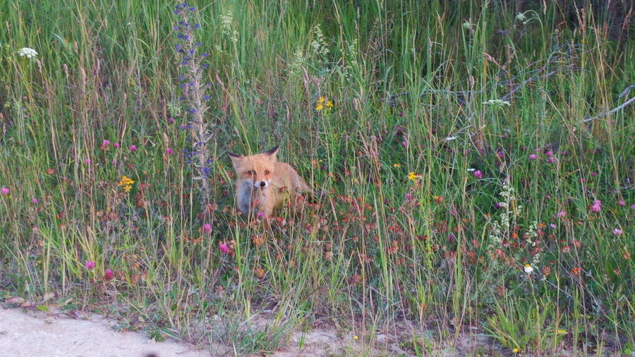 One Animal Mammal Grass Animals In The Wild Animal Themes Outdoors No People Nature Fox Puppy❤ Estonia Summertime Saaremaa Island Estonian Nature Beauty In Nature