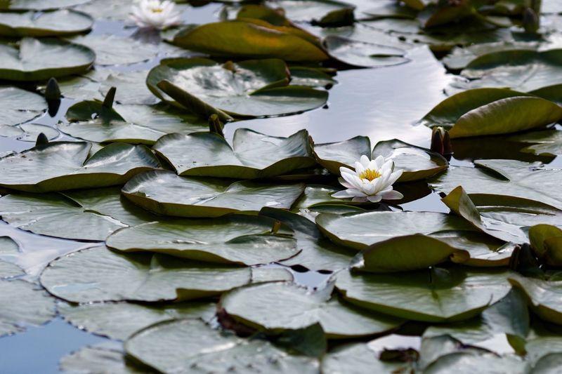 Lotus Blooming In Lake
