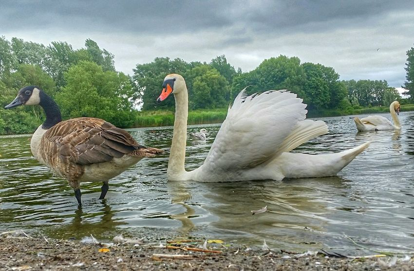 Swans Canadian Geese Waterscape Greenery Hdr_Collection EyeEm Nature Lover Swans ❤ White Swan Canada Geese Nature_collection