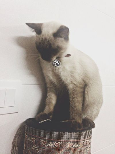 Vienna, my Siamese-Persian breed kitten. Meow!