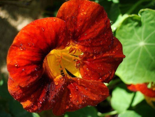 Flower Nature Close-up Wet Red Fragility Petal Freshness Beauty In Nature Drop No People Water Plant Outdoors Flower Head RainDrop Maroon Day Nasturtium Bright Bright Orange Best Floral 🌸 Botany Close Up Vibrant Colors Botany Close-up