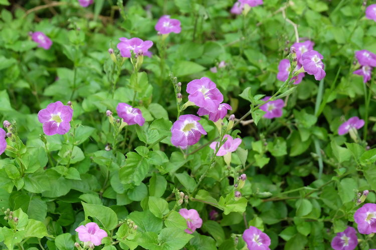 purple flower Flower Flowering Plant Plant Freshness Beauty In Nature Growth Leaf Plant Part Green Color Fragility Vulnerability  Petal Flower Head Pink Color Day Inflorescence Close-up Nature No People High Angle View Outdoors Purple
