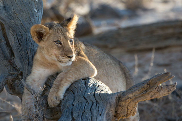 Desert Life EyeEm Nature Lover Wildlife Photography Animal Themes Animal Wildlife Animals In The Wild Close-up Day Focus On Foreground Kalahari Lion Kalahari Lions Kgalagadi Transfrontier Park Mammal Nature No People One Animal Outdoors Relaxation