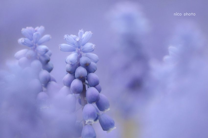 ムスカリ EyeEmBestPics EyeEm Best Shots Flower Collection Flowers, Nature And Beauty Muscari ムスカリ ふんわり 前ボケ Purple Flower Nature Beauty In Nature No People Close-up Fragility Flower Head