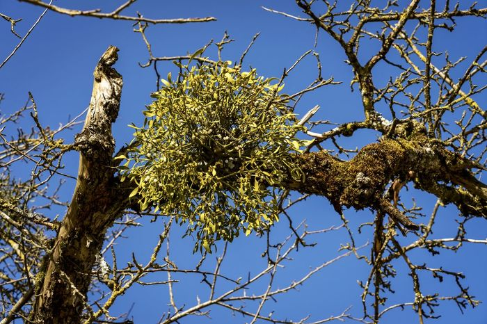 Blue Sky Branch Day Low Angle View Medlar Mispel Natur Nature Nature Nature On Your Doorstep Nature Photography Nature_collection Naturelovers No People Outdoors Sky Tree