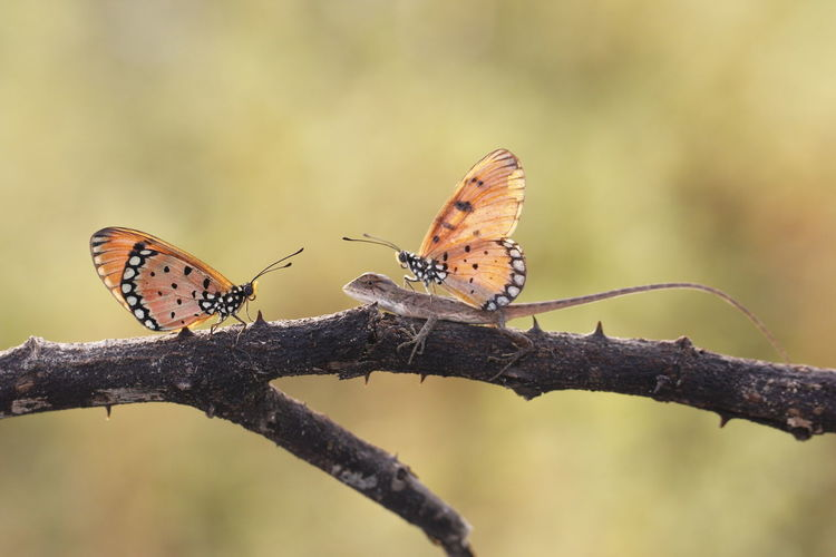 Friendship Lizard Macro Photography Butterfly Butterfly - Insect Friendship