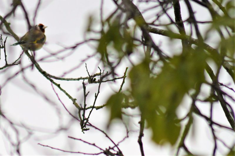Tree Beauty Beauty In Nature Branches And Leaves Gold Finch Leaves In Foreground Proud Bird Sky