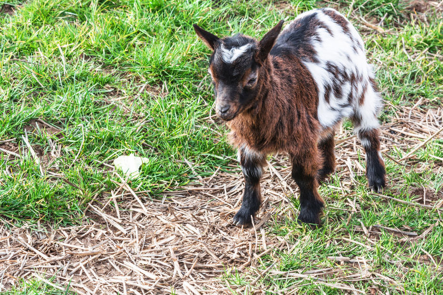 Small young goat on a meadow. Animal Animal Themes Bite Day Domestic Animals Field First Eyeem Photo Fur Goat Goat Herder Grass Healthy Eating Horn Kid Goat Livestock Mammal Nature No People One Animal Outdoors Young Animal