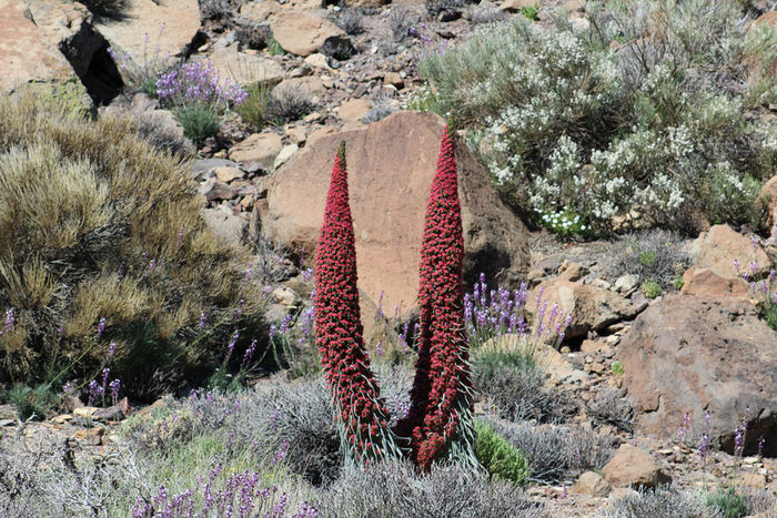 Tajinastes Tenerife. Canary Islands Teide National Park Teide Volcano Nature Outdoors