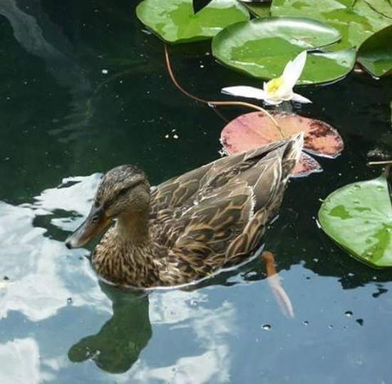 Kacsa Duck Animal Bird Madar Naturephotography Nature Naturelovers Naturephotograph Természet Természetfoto Ilovenature Bled Lake To  Viz Water Nofilter Nofilterneeded