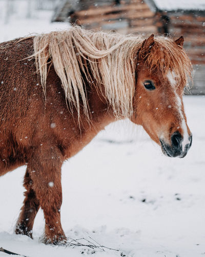 Brown horse on snow covered field