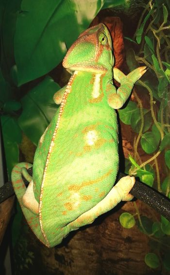 Green Color Reptile Pattern No People Nature One Animal Multi Colored Camouflage Animal Themes Chamaeleon Reptile