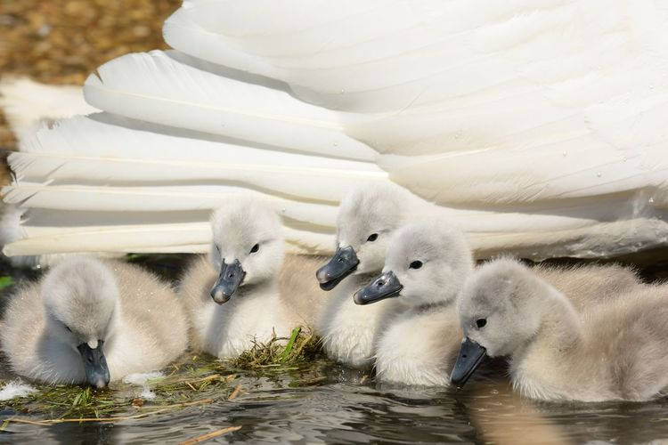 Close-Up Of Cygnets Swimming On Lake