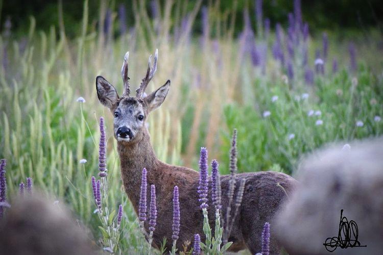 Antler Purple