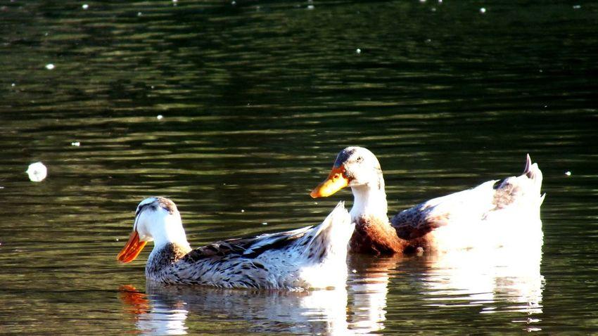 Water Bird Lake Animals In The Wild Animal Themes Swimming Waterfront Nature Animal Wildlife No People Outdoors Day Beauty In Nature Greylag Goose Pelican Swan Manzara Dediğin  Yoldangeçerken