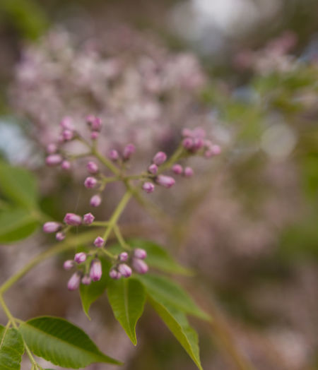 Pink Australian wildflowers Beauty In Nature Blooming Bokeh Botany Close-up Day Flora Floral Flower Flower Head Flowers Fragility Freshness Growth Leaves Nature No People Outdoors Pink Color Plant Selective Focus Wild Flower