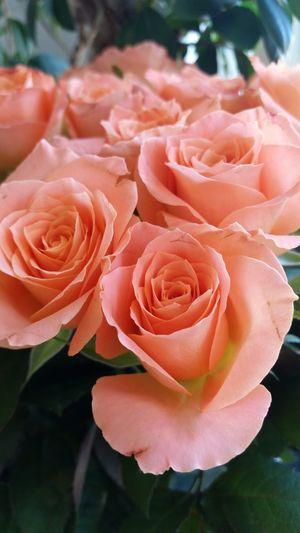 Flower Rose - Flower Roza Flowers Nature Rosé Nature Freshness Rose🌹 Kwiaty
