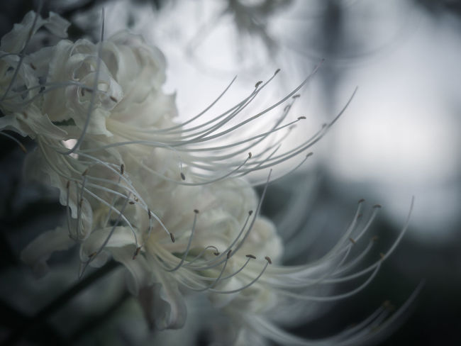また会う日を楽しみに… White White Flower Spider Lily Olympus Olympus Om-d E-m10 EyeEm EyeEm Selects Macro Macro Photography White Color Lycoris Flower Softness Flower Head Close-up