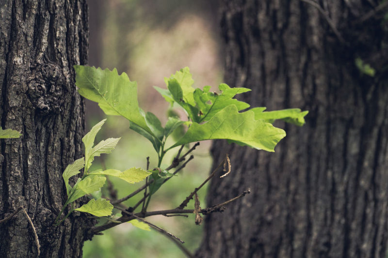 Bark Beauty In Nature Botany Close-up Day Focus On Foreground Forest Green Green Color Growing Growth Leaf Leaves Natural Pattern Nature No People Outdoors Plant Selective Focus Stem Tranquility Tree Tree Trunk Twig Wood - Material