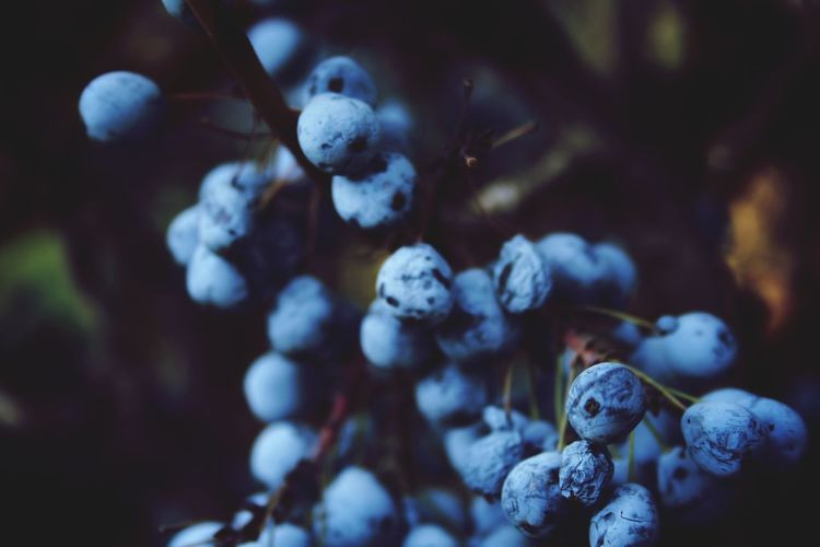 Close-up of berries growing on plant during winter