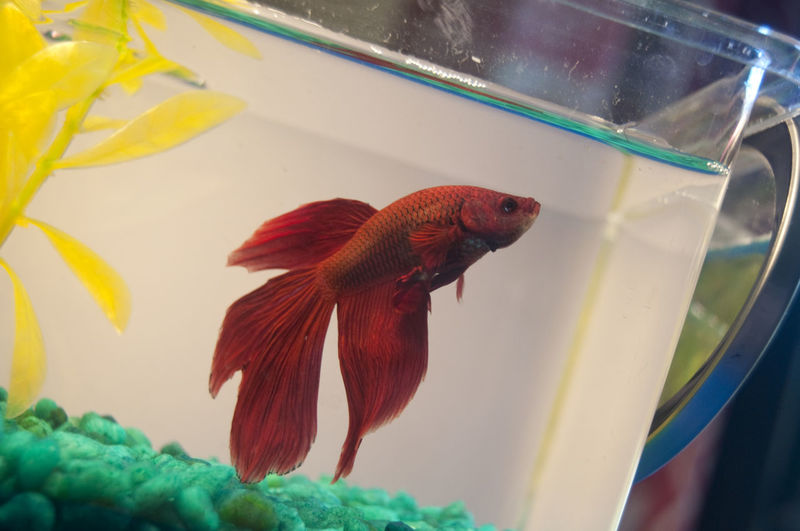 Water Pets Beta Fish Beta Fish No People Leaf Close-up Indoors  Day First Eyeem Photo