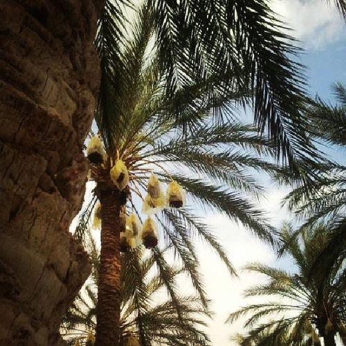 Dattier Palmier  Palmtree Dattes Deglat_Ennour Douz Tunisie Tunisia