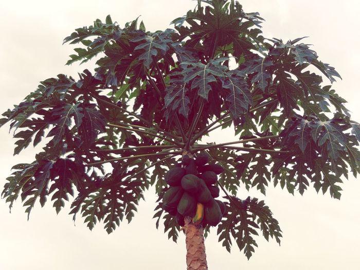 Papya Tree Papaya Tree Tree With Fruits Tree Palm Tree Flower Fruit Red Leaf Branch Tree Trunk Plant Part Sunset