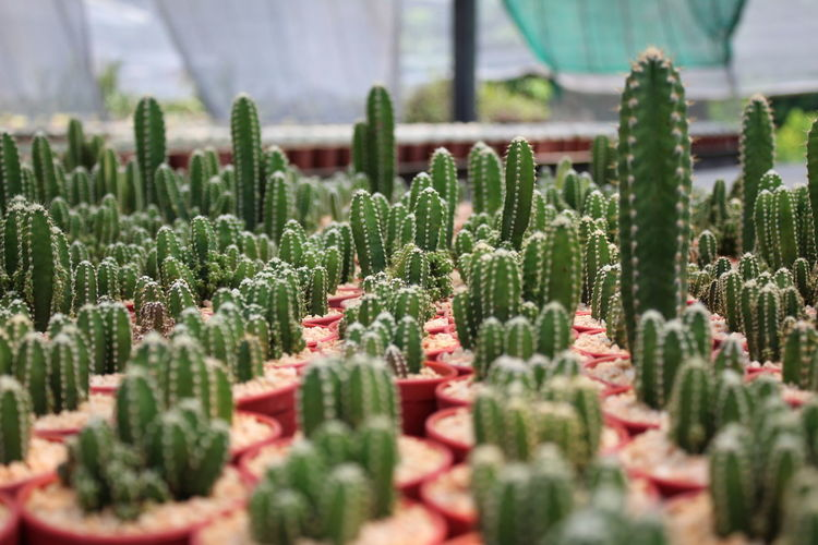 Herbal Medicine Greenhouse Alternative Medicine Cactus Thorn Close-up Plant Green Color