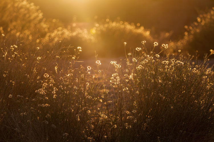 golden summer Summertime EyeEm Selects EyeEm Best Shots Golden Light Golden Hour Summer Heat Golden Hour Dodge And Burn Defocused Illuminated Sunset Gold Colored Backgrounds Rural Scene Field Sky Landscape Shining Capture Tomorrow