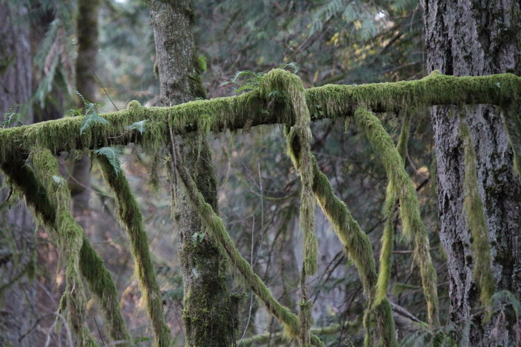 Moss & Lichen Pacific Northwest  Pacific Northwest Beauty Beauty In Nature Branch Close-up Day Focus On Foreground Forest Moss Nature No People Outdoors Tree Tree Trunk Water