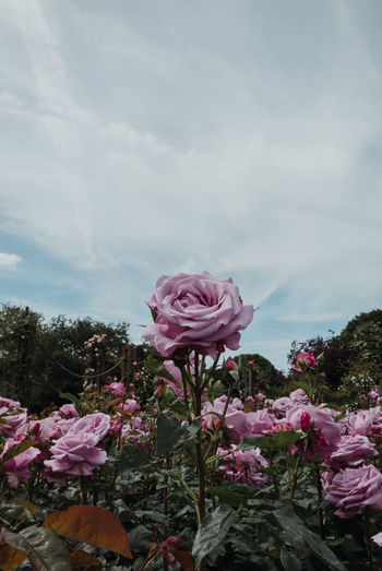 Close-up of pink rose flower against sky