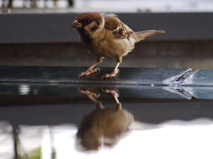 Close-up of sparrow bird perching near water