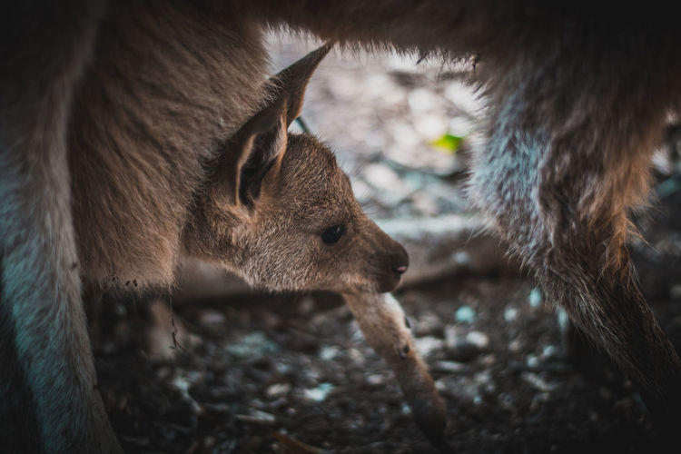 Low section of kangaroo with infant