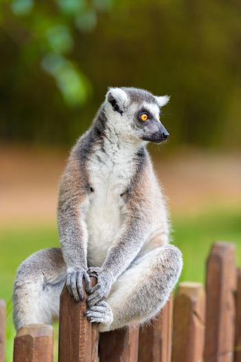 Close-Up Of Lemur Sitting On Fence