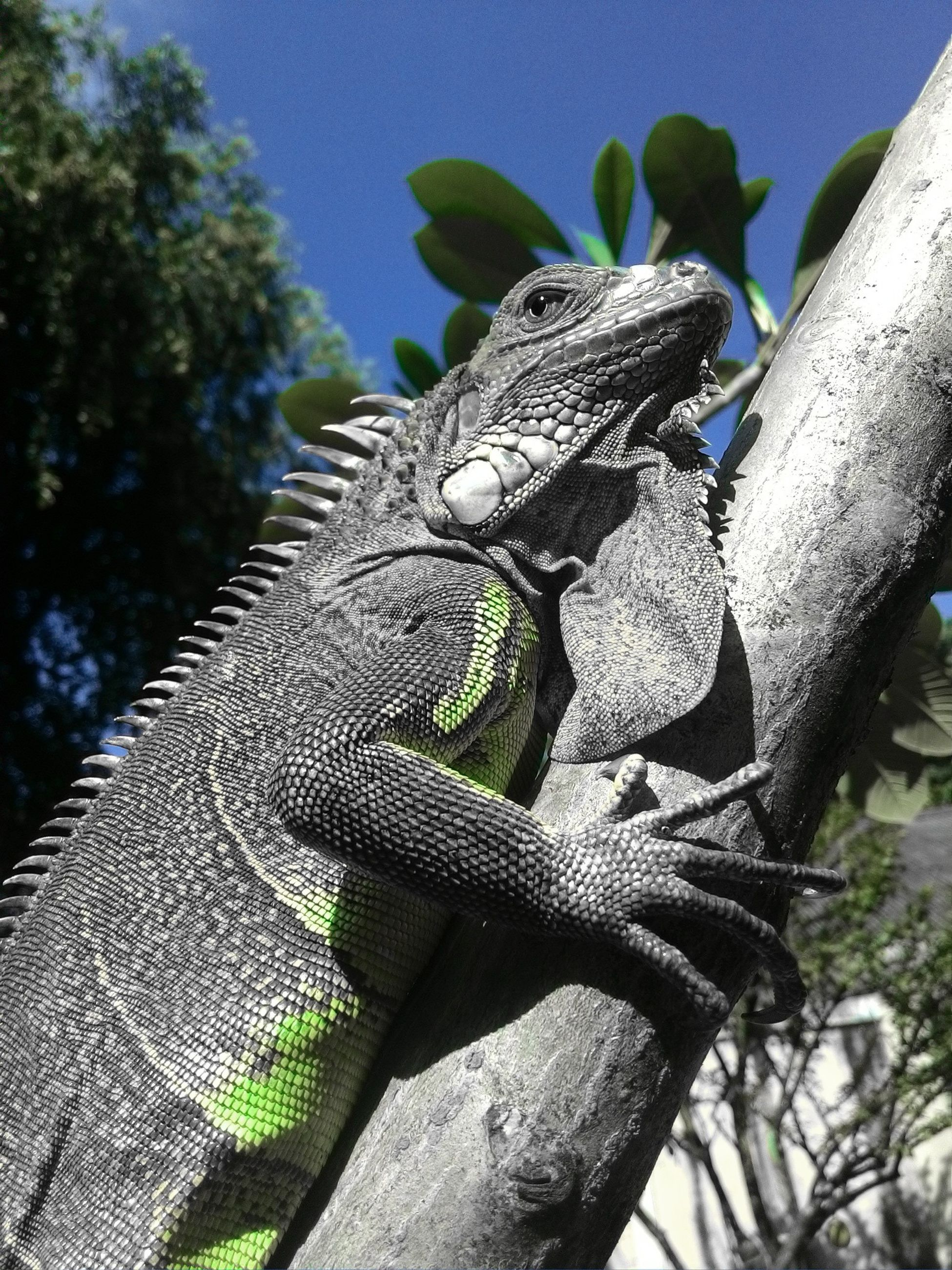 animal themes, reptile, animal, animal wildlife, vertebrate, lizard, animals in the wild, one animal, plant, tree, nature, no people, iguana, day, focus on foreground, animal body part, close-up, branch, outdoors, low angle view, animal head, animal scale