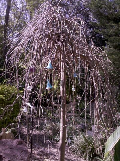 Raspberry tree.....Kibutz Einat