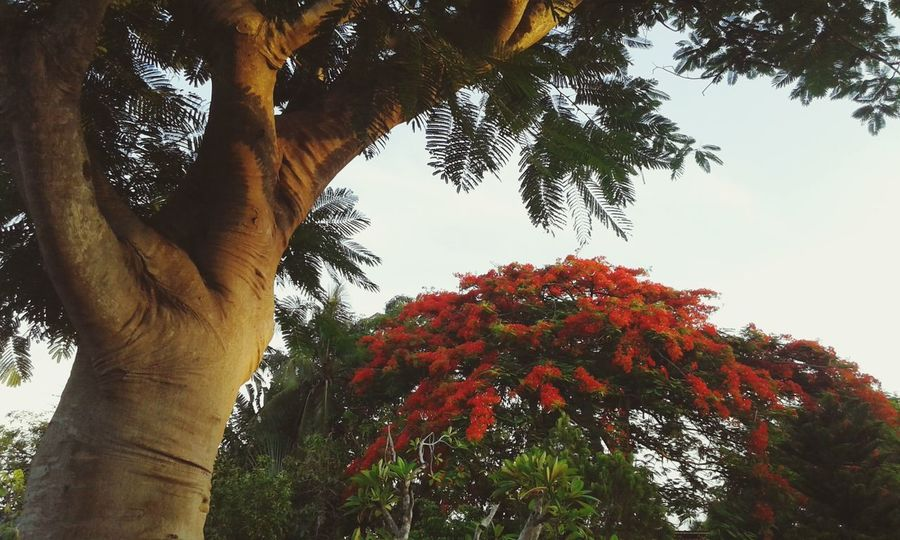 Tropical Plants Tropical Rainforest Tropical Tree Boganvilla Flowers Red Color Flower Flowers Flowering Plant Fiore Fiori Tropical Flower Tree Flower Red Tree Trunk Sky Close-up Tropical Tree Tropical Climate