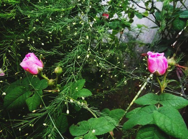 роза🌹🌹🌹 чудесныйдень летний день розовый цветок Pink Color Flower Growth Nature Green Color No People Plant Petal Outdoors Beauty In Nature Fragility Day Flower Head Freshness Water Close-up веточки просто фото вечер👍