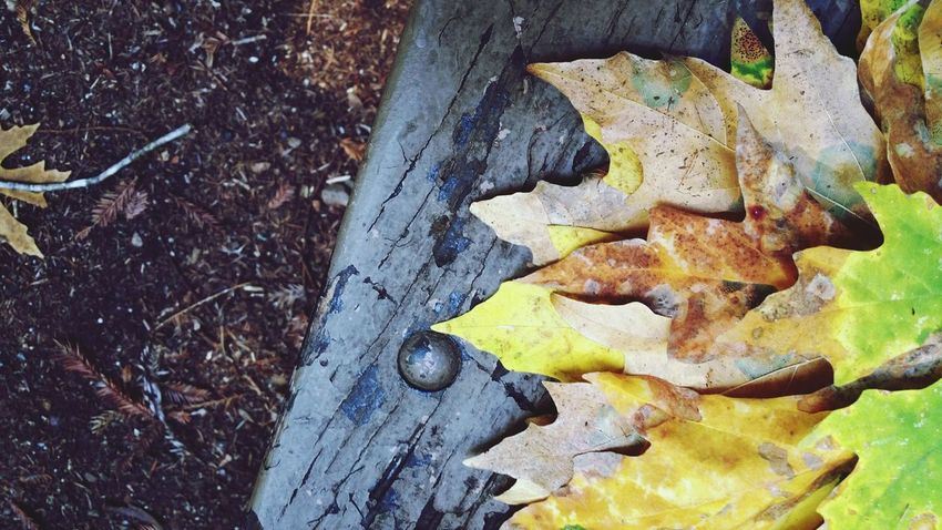 Autumn leaves are colorful against weathered wood fence with bolt. Background. Maple Leaves Blue Weathered Wood Bolt Right Justified Background Copy Space Diagonal Ground Golden Yellow Rust Pink Zen Countryside Forest EyeEm Selects Leaf High Angle View Close-up Leaves Textured  Rotten Maple Leaf Fallen Fall Rugged Change Rough
