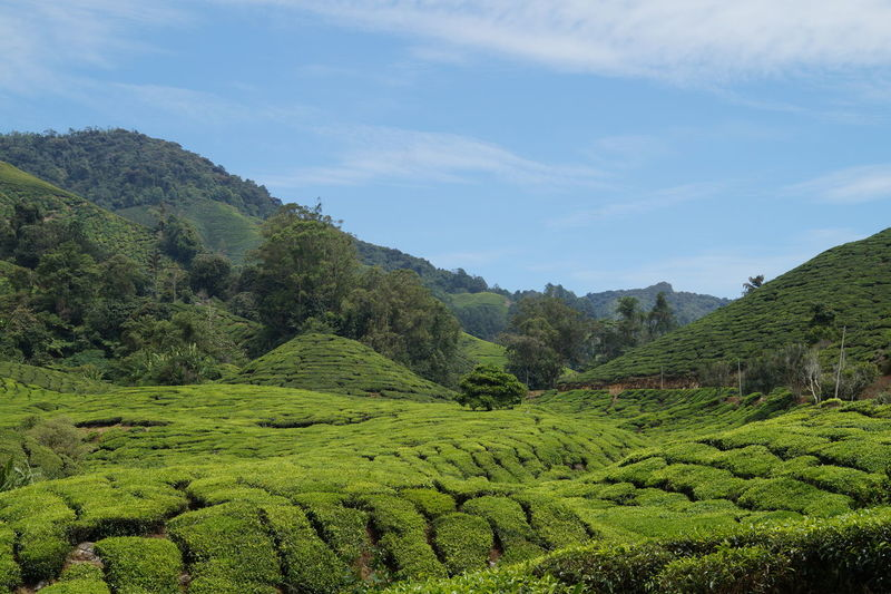 Tea Scenics -
