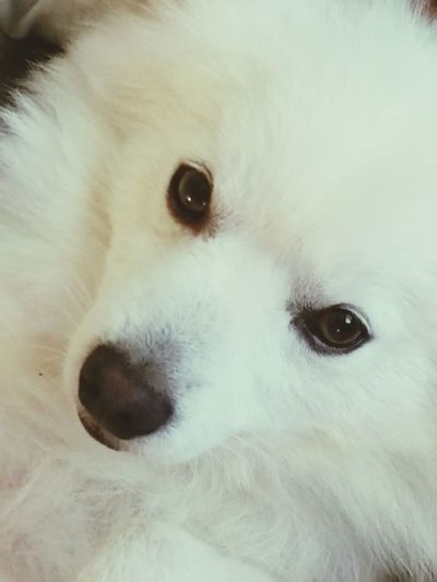 Good Afternoon my friends. Meet Monte. He is an American Eskimo Spitz. He was the smallest of his little and is a medium sized dog. He weighs about 15 pounds. Dog Canine Companion Animals Love Family Unity Happiness Cheese! Enjoying Life Eskimo Dog