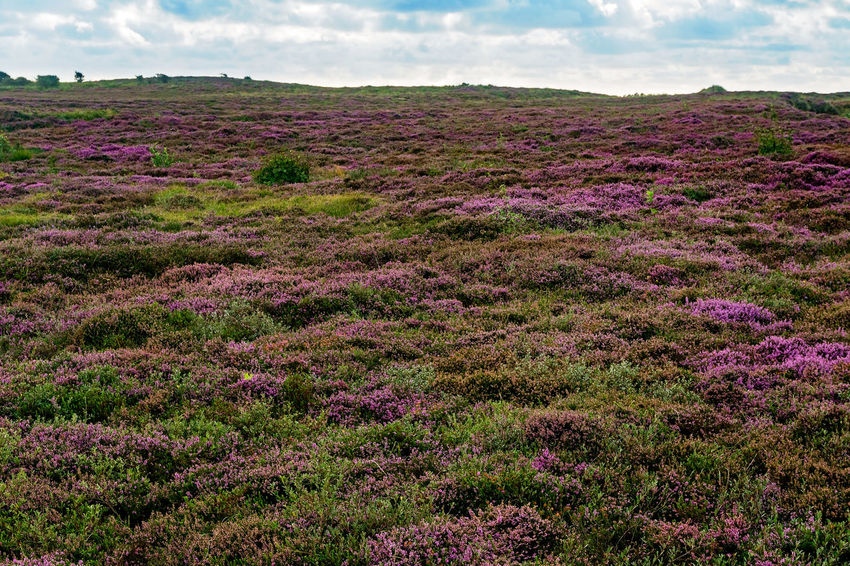 Morsum Cliff, Sylt Morsum-Kliff Nature Reserve Naturschutzgebiet Sylt, Germany Field Heather Heather Flower Heide Heidekraut Landscape Morsum Morsum Kliff Nature No People Outdoors Purple Sylt Sylt_collection