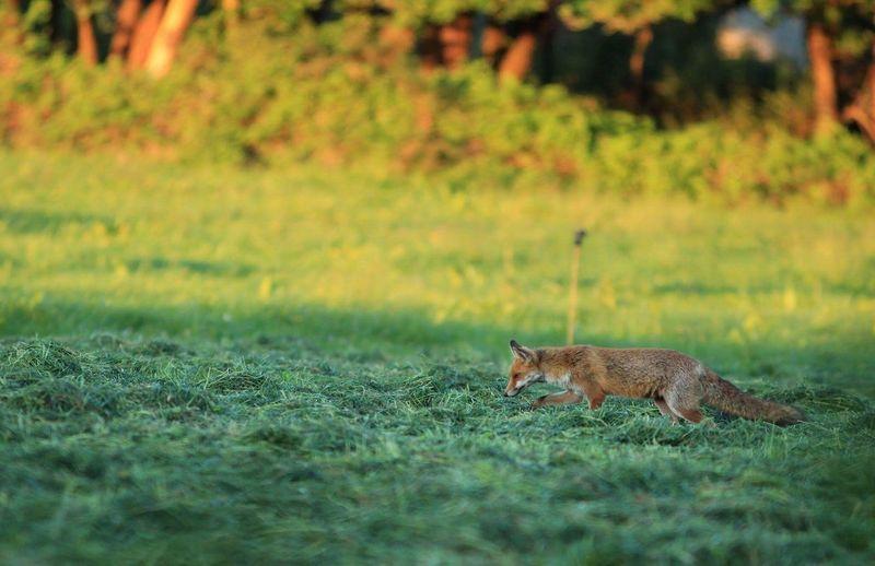 Fox On Field