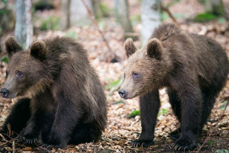 Close-up of bear cubs