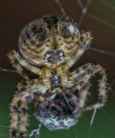 Spider Insect Animal Wildlife Macro Spider Animals In The Wild One Animal Spider Web Animal Themes Close-up Focus On Foreground No People Nature Day Outdoors
