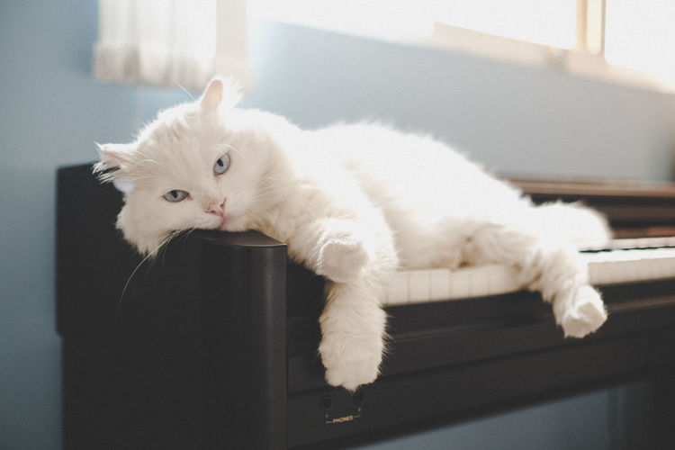 Portrait of white cat lying on piano keys at home