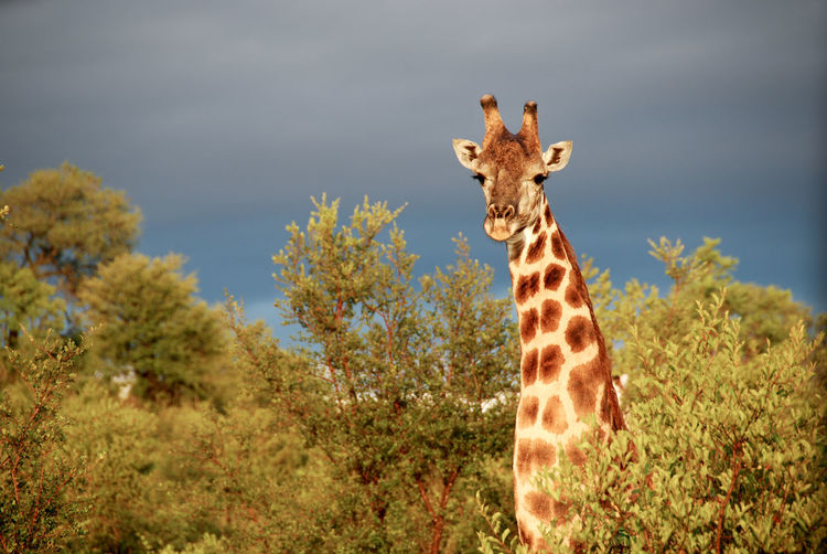 Giraffe Kruger Park Animal Themes Animal Wildlife Animals In The Wild Beauty In Nature Colourful Nature Day Focus On Foreground Giraffe Looking At Camera Mammal Nature No People One Animal Outdoors Portrait Safari Animals Sky Standing Thunderstorn Tree