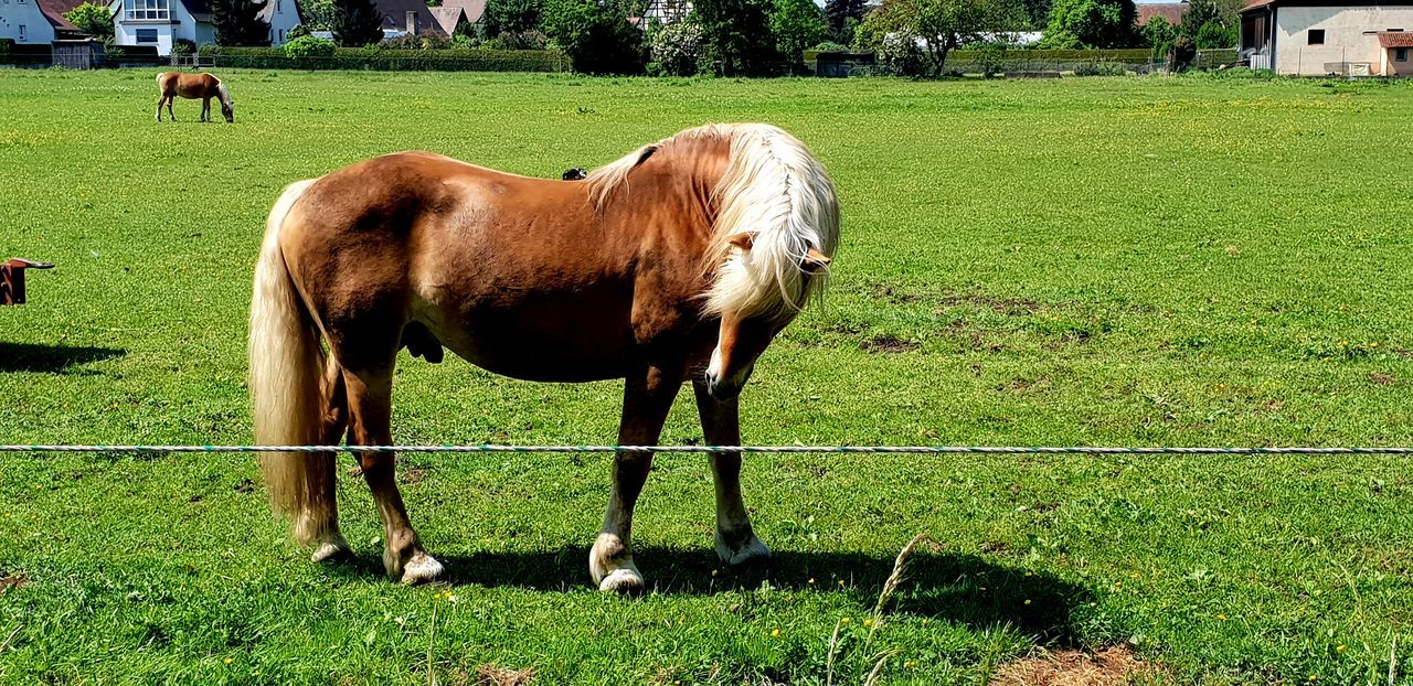 Agriculture Animal Animal Themes Animal Wildlife Day Domestic Domestic Animals Field Grass Grazing Green Color Herbivorous Horse Land Livestock Mammal Nature No People Outdoors Pets Plant Pony Vertebrate