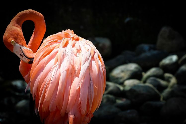 Close-Up Of Flamingo Preening Outdoors